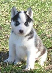 Siberian husky puppy for caring homes