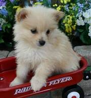 Cute and affectionate pomeranian puppies available for pet families