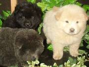 Fantastic chow chow puppies