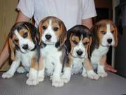 Beagle puppies ready to go
