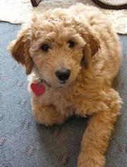 Emma the Goldend poodle puppy