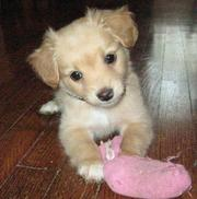 Tink the Chihuahua Mix