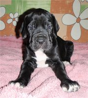 Great Dane puppies black and gray marble colors.