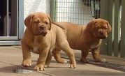 Dogue De Bordeaux Puppies - Stunning
