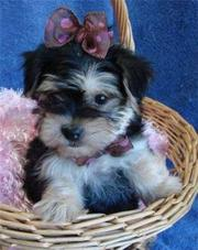 free t-cup yorkie  puppies