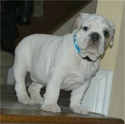 ENGLISH BULLDOG PUPPY FOR SALE (12 WEEKS OLD)