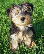Super cute yorkie puppy for this xmas